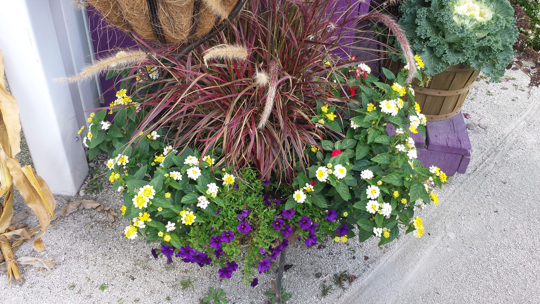 Purple Fountain Grass Lemon Glow Lantana Purple Callibrachoa